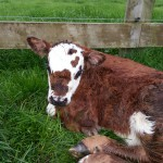 Spring time is baby cow time